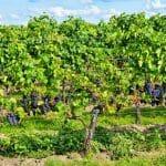 Comment acheter un bon vin de bourgogne ?