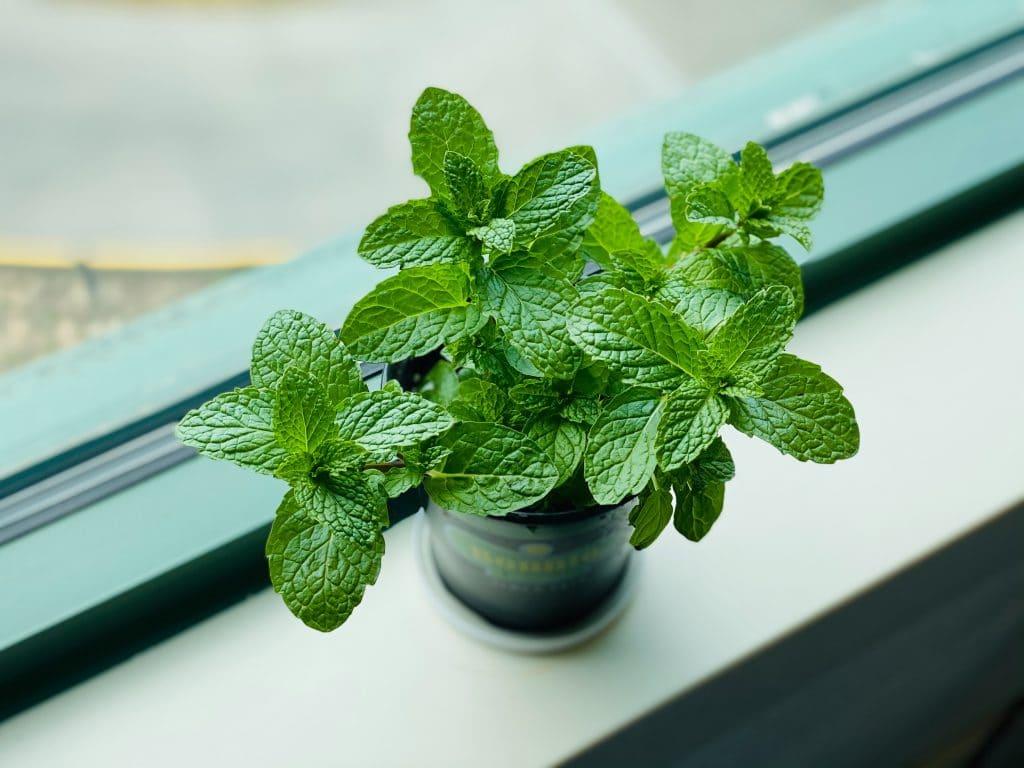 Les plantes aromatiques balcon